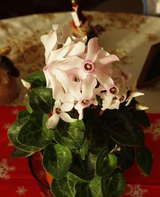 Cyclamen persicum