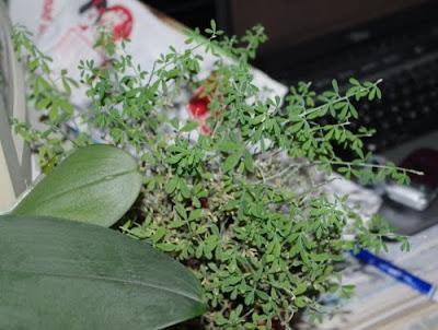 Cytisus rasomichus