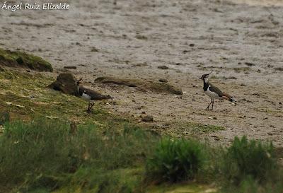 Avefría europea (Vanellus vanellus)