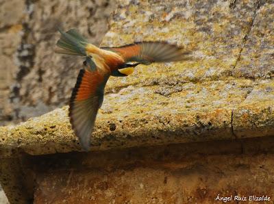Abejaruco (Merops apiaster)