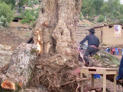 Apongo. Atentado ecológico contra el Cedro, árbol añejo de este distrito fajardino.