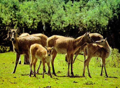critically endangered species, endangered animal, Pere David's Deer, rare animal, extinct animal, extinct species, Pere David's Deer, animal news of animals, news animals in news