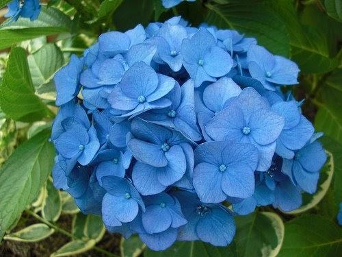 Cuidado de plantas y jardines la hortensia un arbusto - Como podar la hortensia ...