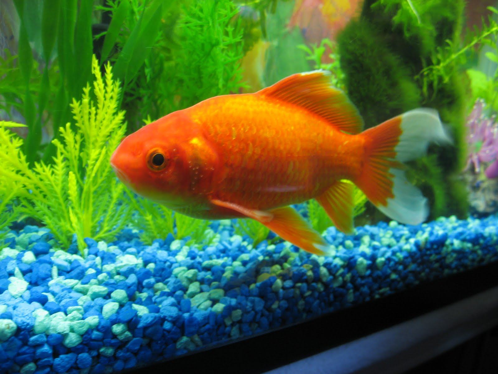 how to tell if your fish is pregnant goldfish