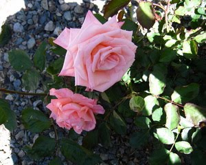 ~ My Pink Roses ~