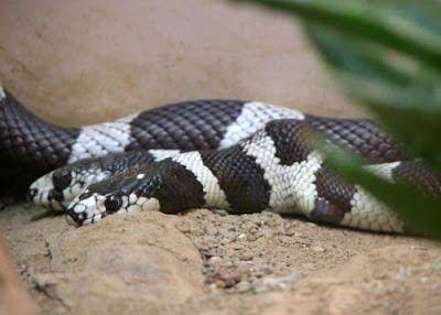 Rare Two Headed Snake