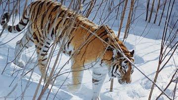 rare Amur tigers died