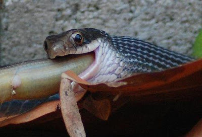 King cobra feed exclusively on smaller snakes