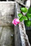 Rose i min hage..