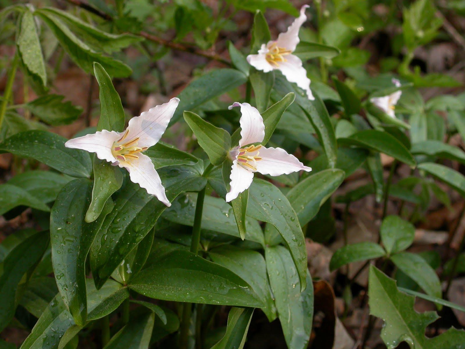 Wakerobin Trillium Sessile Ozark Wakerobin Trillium