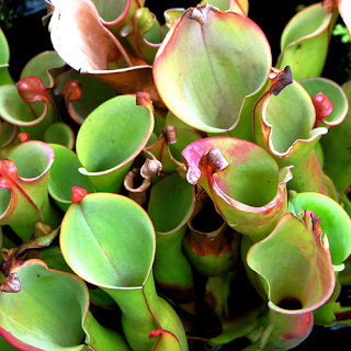 Carnivorous Plants Eating Animals