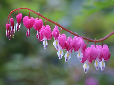 beautiful Bleeding Heart