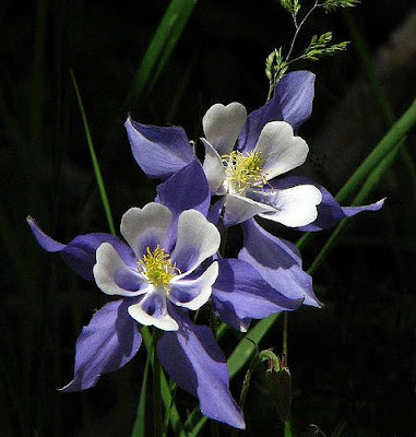 beautiful Colorado Columbine