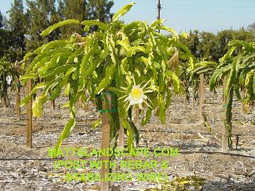 Pitaya Fruit On Cactus