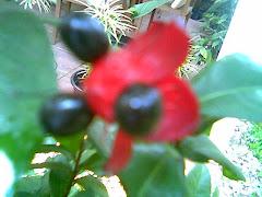 bunga Pinokio