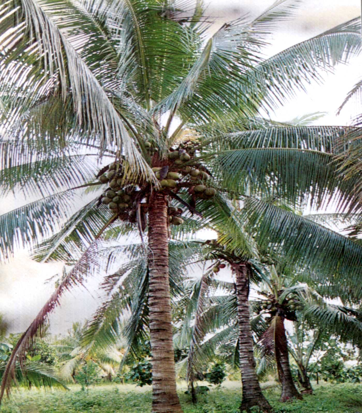 coconut tree The coconut tree (cocos nucifera) is a tropical plant from the palm family grown primarily for its fruit, coconuts the tree is native to the south pacific region and is widely cultivated in all the tropical regions of the world, growing particularly well in coastal areas.
