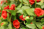 Vakre roser.