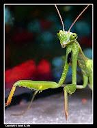 Mantis religiosa (calugarita europeana)