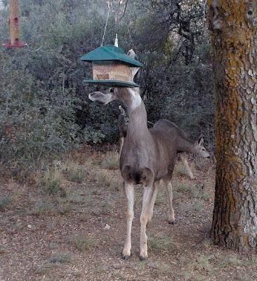 Mule deer at bird feeder Yarnell Arizona