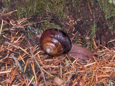 Roth Forest Snail Siskyou National Forest Oregon