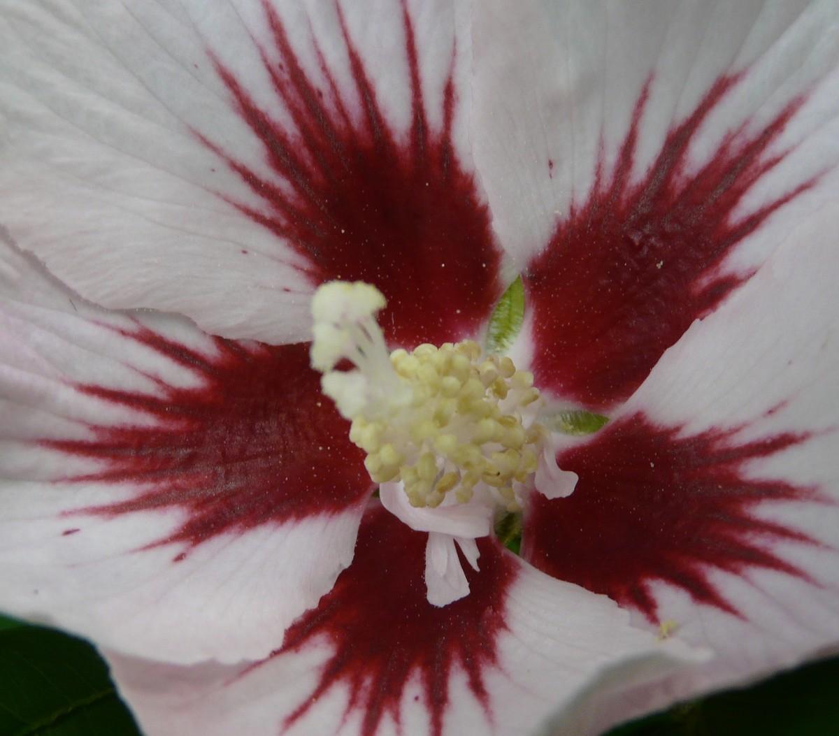Montreur d'images: Fleur d'hibiscus