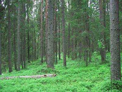 Fir forest
