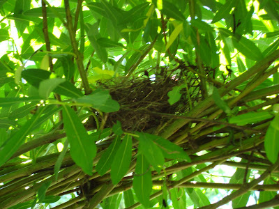 tiny bird's nest in willow dome