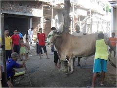 Ngawi-JATIM: Sapi Brahmana ...
