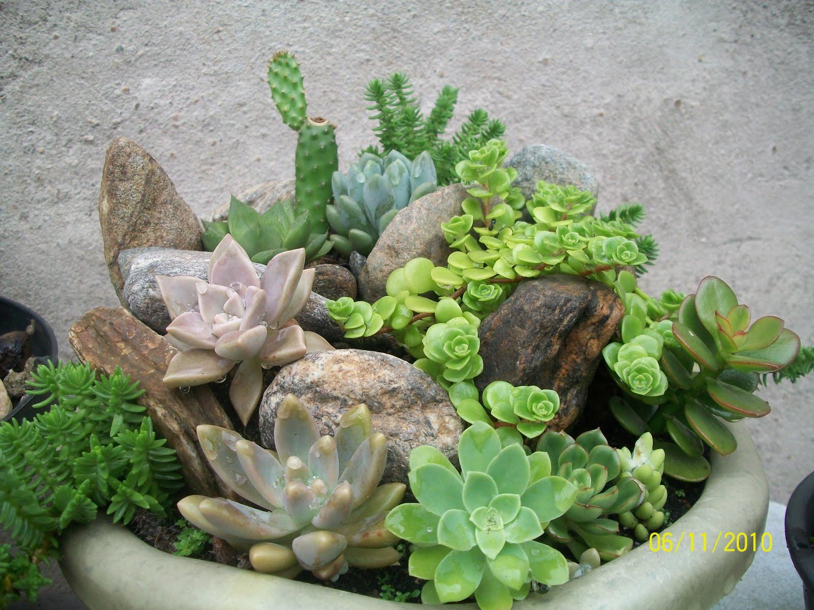 plantas de jardim que gostam de umidade : plantas de jardim que gostam de umidade: suculentas num único vaso. Ficou melhor do que eu tinha imaginado