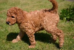 Apricot Std Poodle Pup 2007