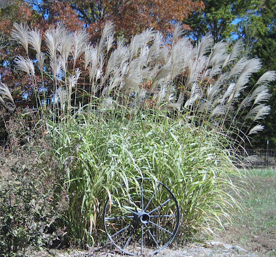 Tall pampas grass with verigated blades of grass and tall silvery plumes