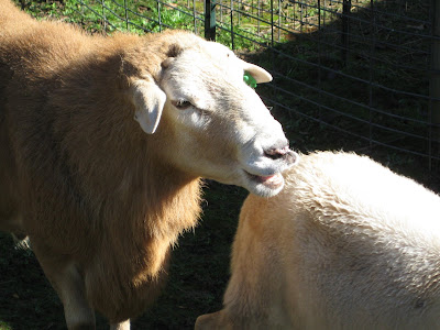 A RAM following behind a Ewe with his lips curled back and teeth bared