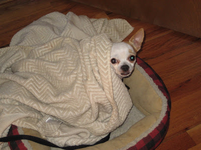 Our little Chihuahua poking his heada out from under the cover when I woke him up