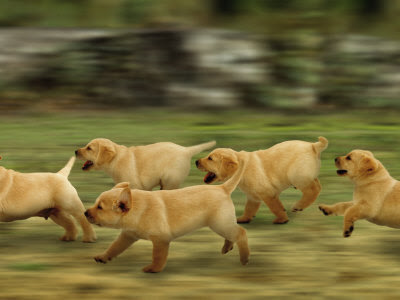 Domestic Dogs, Labrador Puppies Running Photographic Print By Jane Burton