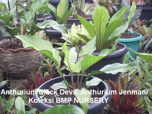 Anthurium Black Devil