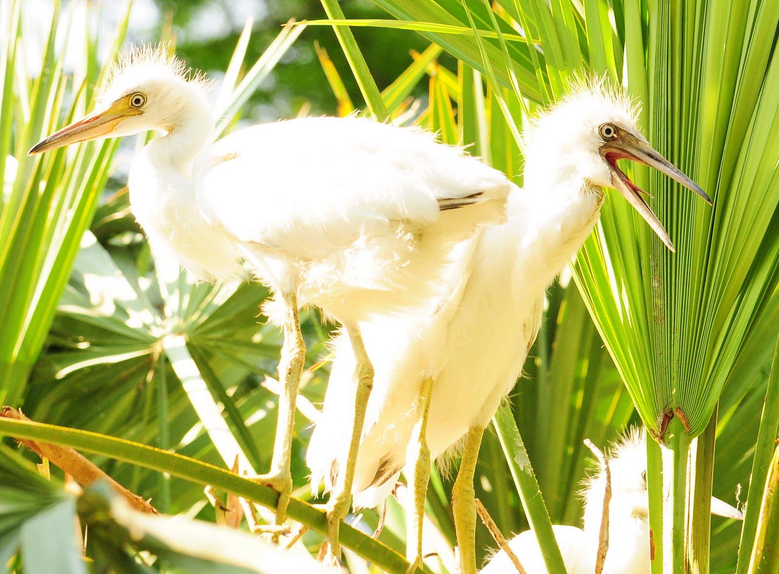Baby blue heron bird - photo#28