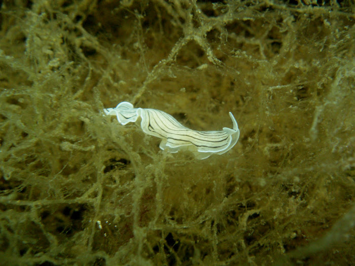 Candy Stripe Flatworm (Prostheceraeus vittatus)