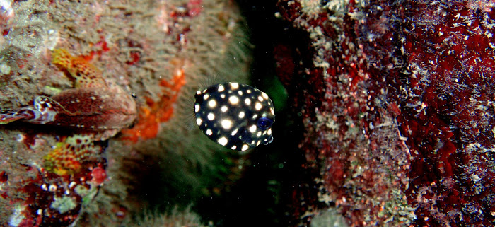 Pea (juvenile spotted Trunkfish)