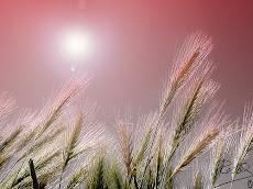 Espiga acariciada por el viento - Sherline Chirinos Loaiza. 11-08-2010