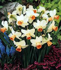 Narciso ( bolbosa)