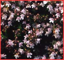 Plantas melíferas