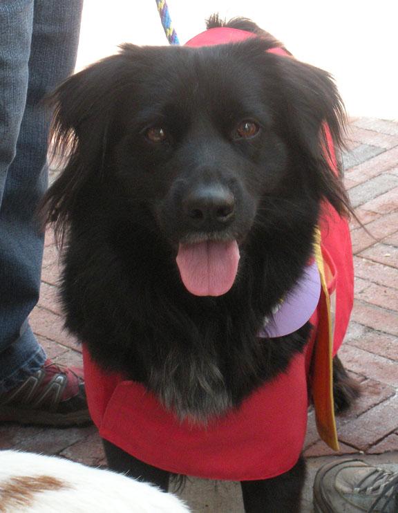 Dog Ready For Adoption Golden Retriever Shepherd Long Coat Named | Dog ...