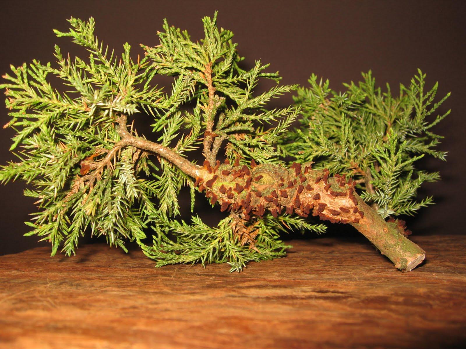 bonsai das sch nste hobby der welt birnengitterrost am wacholder bonsai. Black Bedroom Furniture Sets. Home Design Ideas