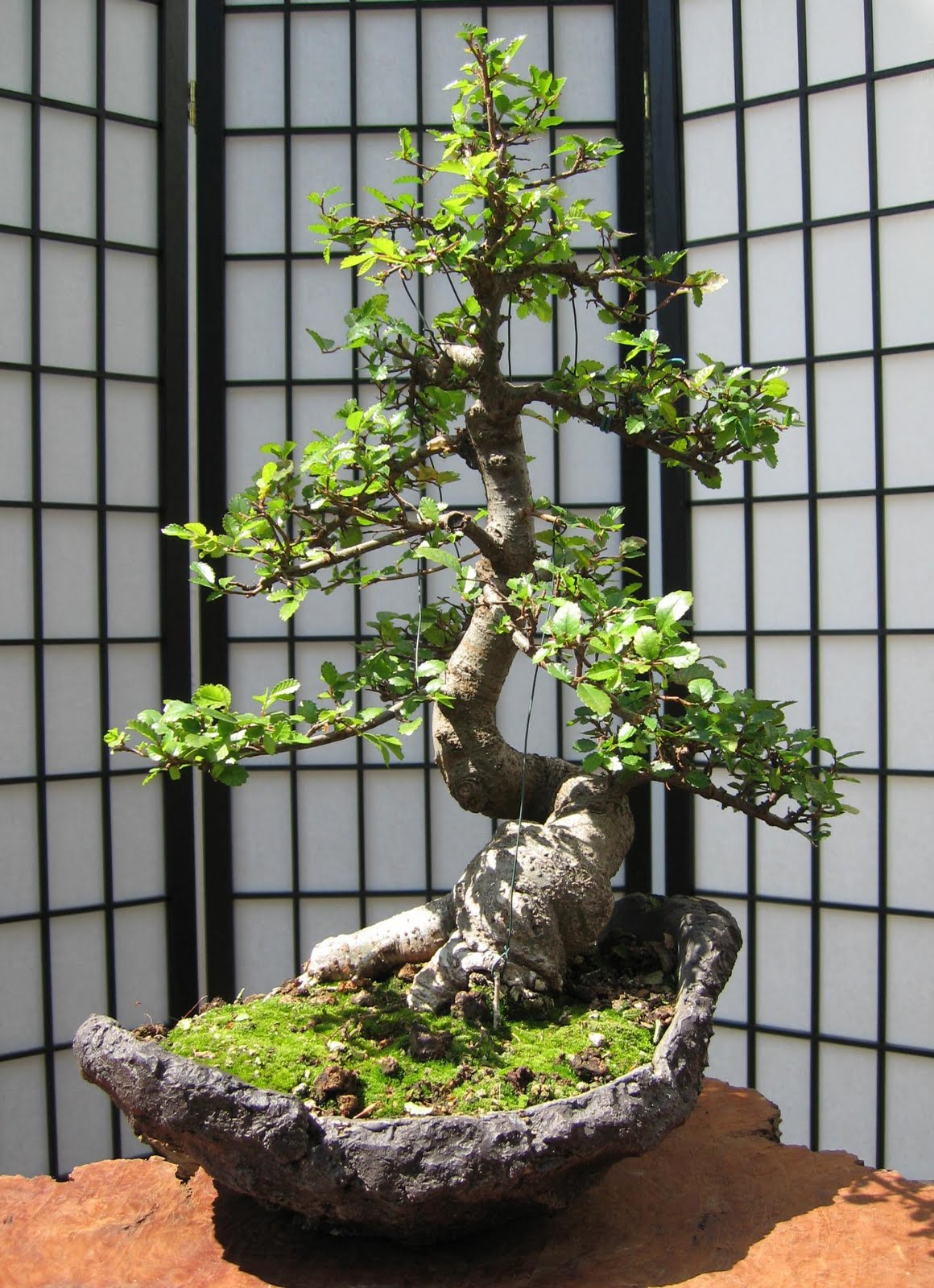 bonsai das sch nste hobby der welt bonsai in the morning sun. Black Bedroom Furniture Sets. Home Design Ideas
