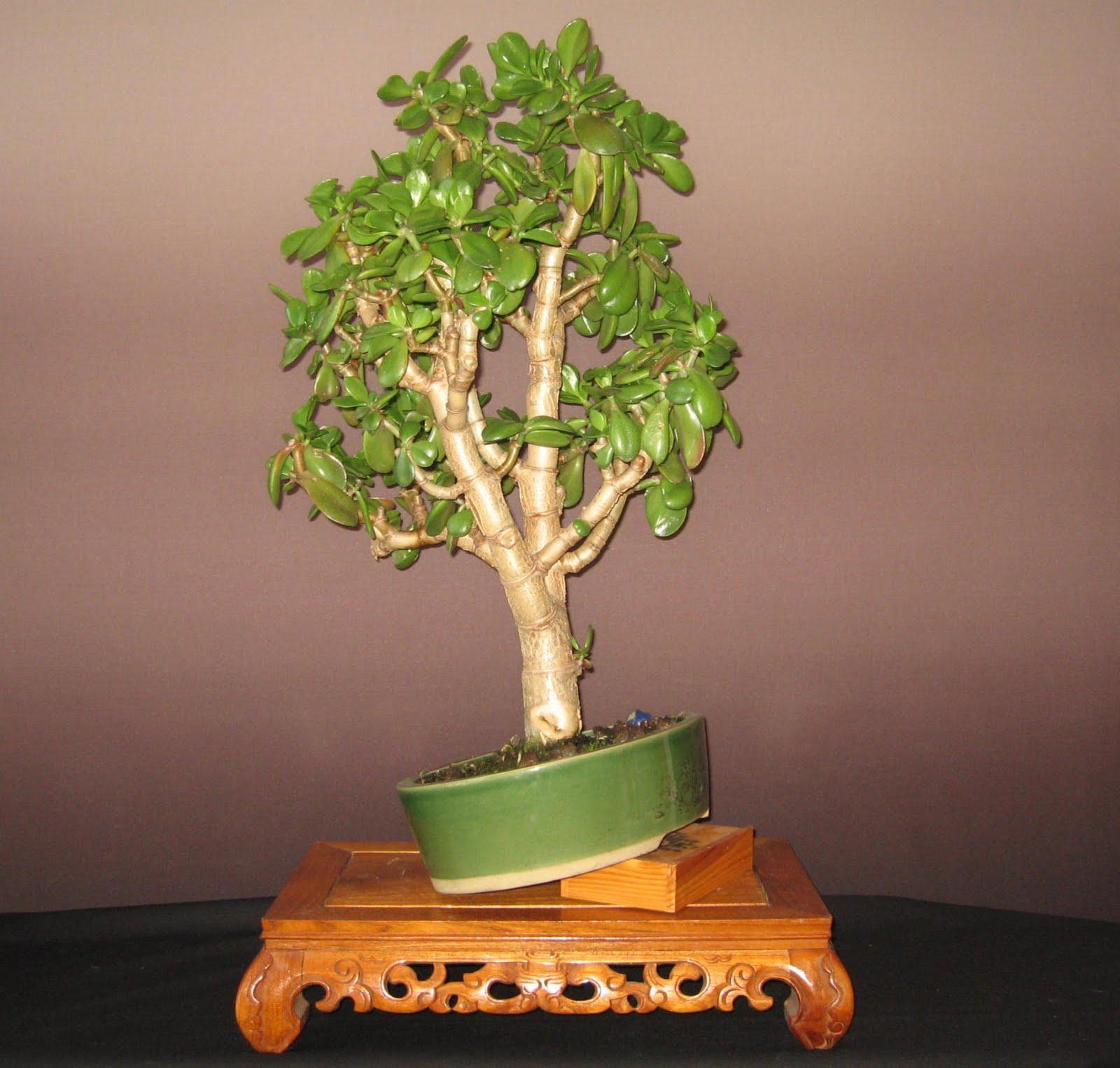geldbaum wie schneiden pflegen schneiden veredeln green24 hilfe pflege bilder. Black Bedroom Furniture Sets. Home Design Ideas