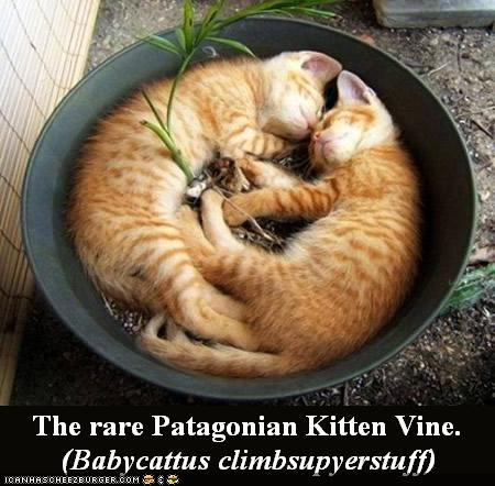 The rare Patagonian Kitten Vine
