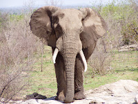 Elefante. Parque Nacional Kruger