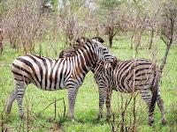 Cebras. Parque Nacional Kruger