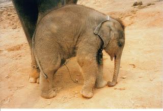 Centro de rehabilitación de elefantes, Chiang Rai. BEBÉ