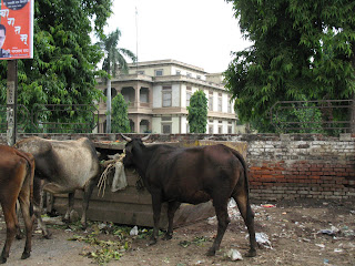 vacas sagradas comiendo basura